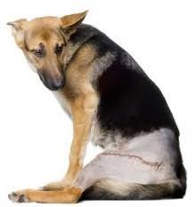 Dislapsia de caderas en perros