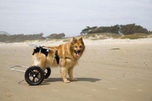 Dislapsia de cadera en perros